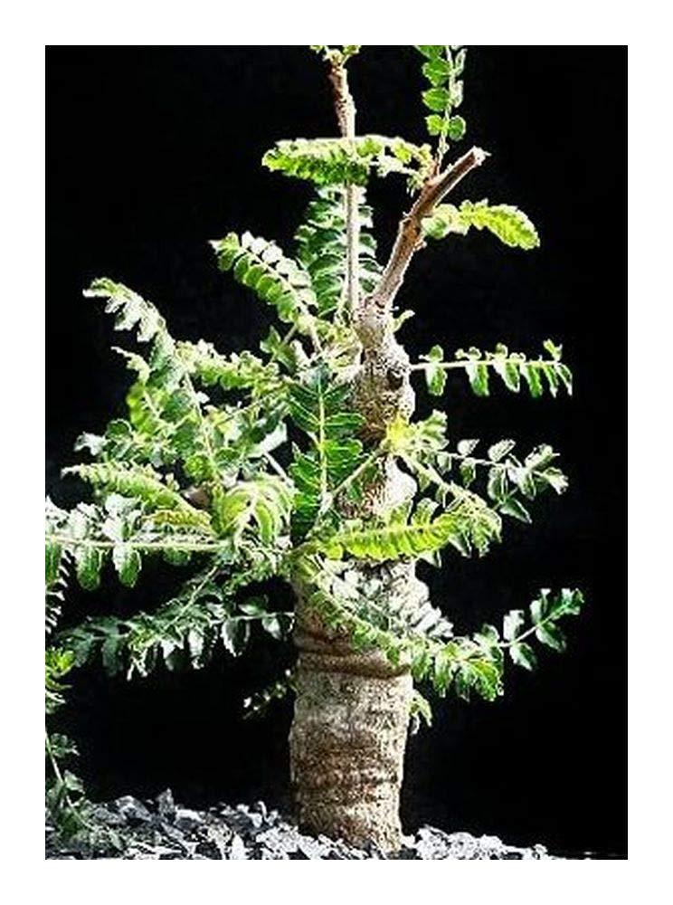 Boswellia neglecta - Frankincense - Borena Etan – Dakara - 1 Seeds Exotic Plants