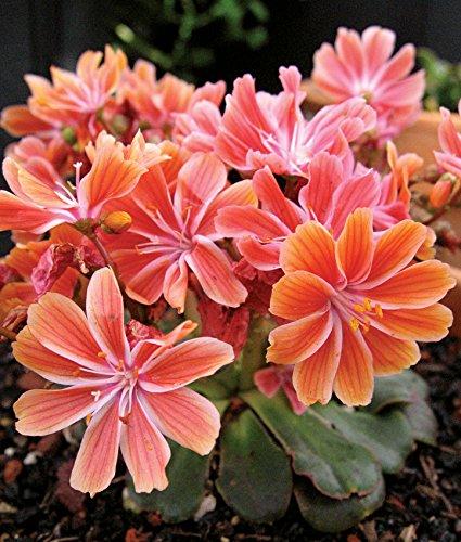 Fresh 200 seeds - Lewisia Sunset Strain Flower Seeds