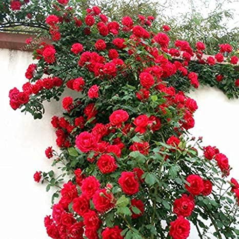 Shoopy Star 5: Raro Rosal Chino Semillas Encantadoras En Maceta Hermosa Planta de Flor de Patio Patio: Amazon.es: Jardín