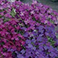 50+ Aubrieta Rock Cress Mix Flower Seeds / Perennial