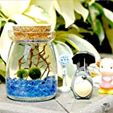 Marimo Moss Balls in Glass Jar by Luffy: Includes Gorgeous Green Marimos, Sea Fan and Beautiful Blue Pebbles - Meaningful Gift - Symbol of Love & Low maintenance - Adds serenity to your home corners