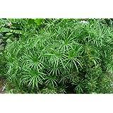 TROPICA - Umbrella Plant/Umbrella Sedge (Cyperus alternifolius syn. Cyperus involucratus) - 250 Seeds - Aquatic plants