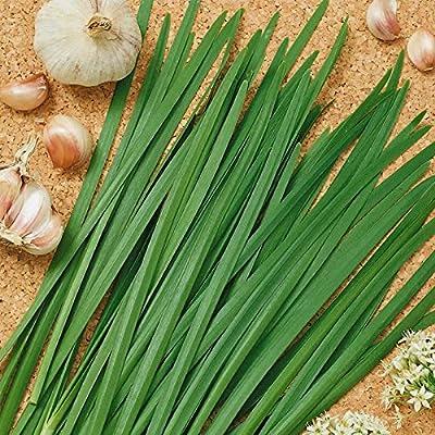 Garlic Chives Herb Garden Seeds - Non-GMO, Heirloom - Perennial Herbal Gardening & Microgreens