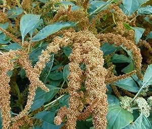 AMARANTHUS HOT BISCUITS Amaranthus Cruentus - 1,000 Bulk Seeds