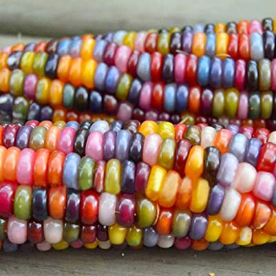 LEANO Rare Glass Gem Corn Seeds Cherokee Indian Corn Heirloom Premium Seeds Non-GMO Ornamental Corn Seeds : Garden & Outdoor