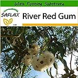 SAFLAX - River Red Gum - 200 seeds - With soil - Eucalyptus camaldulensis
