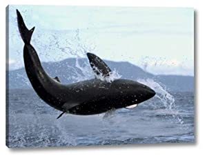 """Great White Shark Leaping Out of Water to Catch Seal, False Bay, South Africa by Mike Parry - 8"""" x 11"""" Gallery Wrapped Giclee Canvas Print - Ready to Hang"""