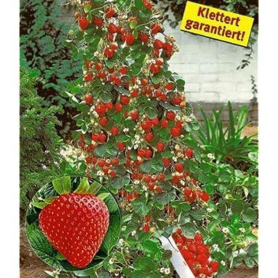 Halffle Seedhouse- Climbing Strawberry Seeds Four Season Home Garden Balcony Fruits Seeds Plants Seeds : Garden & Outdoor