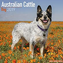 Australian Cattle Dog Calendar 2019