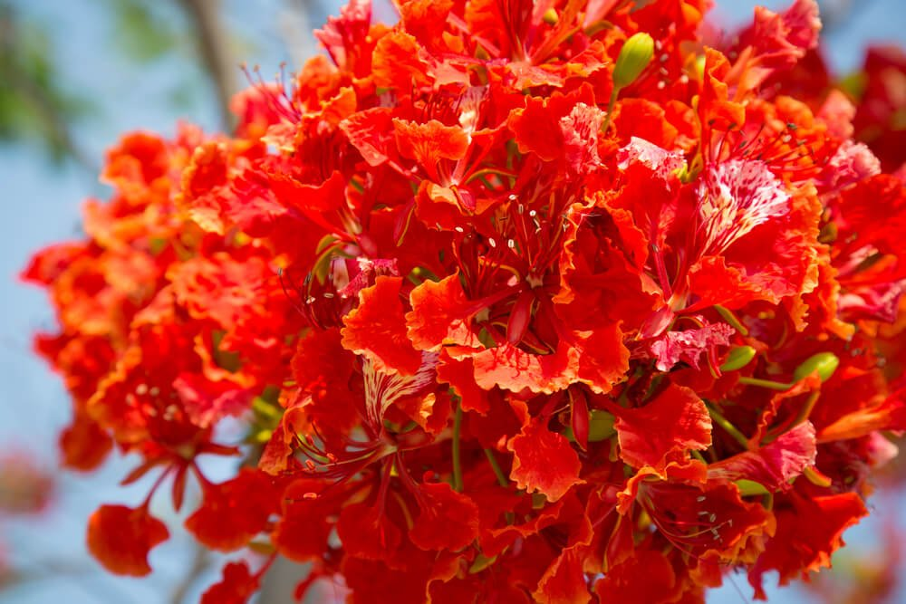 VasuWorld Beautiful Flower Delonix Regia, Gulmohar Tree Seeds ...