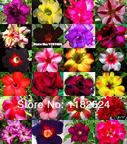 Sale New Arrival Adenium Obesum Blooming Plants Dishes Sementes 50 Seeds - Adenium Obesum Bonsai Desert Plant Seeds(mixed )