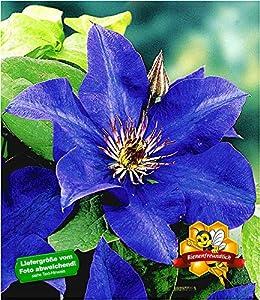 Baldur Garten Baldur Garten Blaue Clematis The President Waldrebe