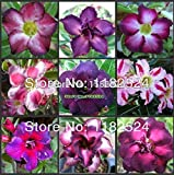 LOSS PROMOTION SALE! 10pcs Adenium Obesum Seeds MIX - Bonsai Desert Rose Flower Plant Seeds