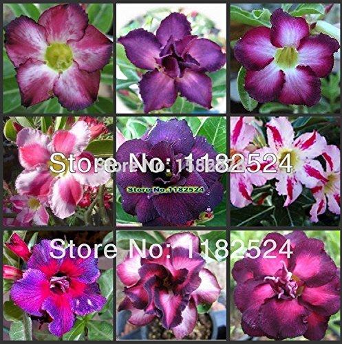 LOSS PROMOTION SALE! 10pcs Adenium Obesum Seeds MIX - Bonsai Desert Rose Flower Plant Seeds