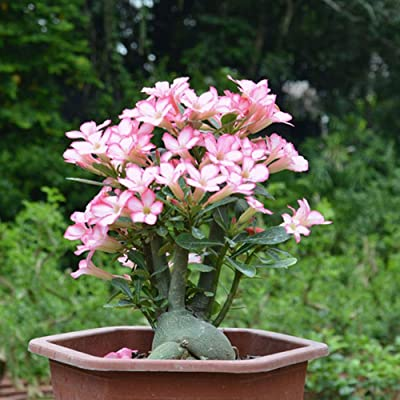 Desert Rose Flower Sparky Mix Seeds Flower Plant Sparky Mix Seeds for Planting an Indoor and Outdoor Garden 2pcs : Garden & Outdoor