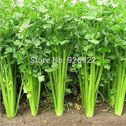 Amazon.com: Comino Semillas, vegetales semillas Libanotis ...