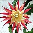 Epiphyllum Hybr. Edi Paetz - Edi Paetz Orchid Cactus - 10 seeds
