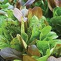 Burpee All Season Romaine Blend Lettuce Seeds 2000 seeds