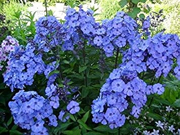 Phlox Paniculata /'Blue Paradise/' Perennial Garden LARGE Plug Plants Pack x6