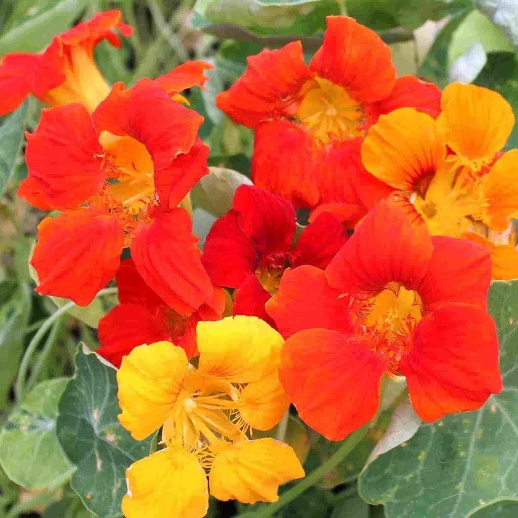 Non-GMO 30 Dwarf Jewel Mix Seeds Organic Nastturtium