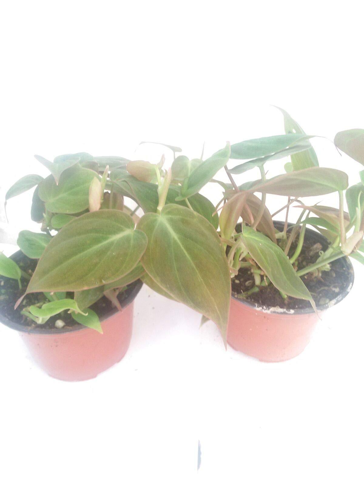 Two Velvet Leaf Live Plant Bronze Micans Vine 4''Pot Indoor Houseplant Best Gift