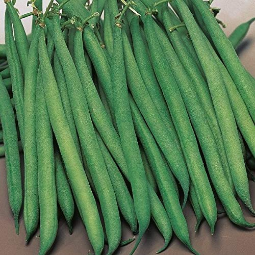 Kings Seeds - Dwarf French Bean Safari - 125 Seeds ()