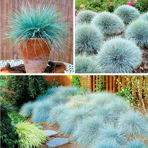Grass Blue Ornamental Perennial Grasses Blue Fescue Grass Seeds - (Festuca glauca) Perennial Hardy Ornamental Grass so Easy to Grow - 10pcs/lot