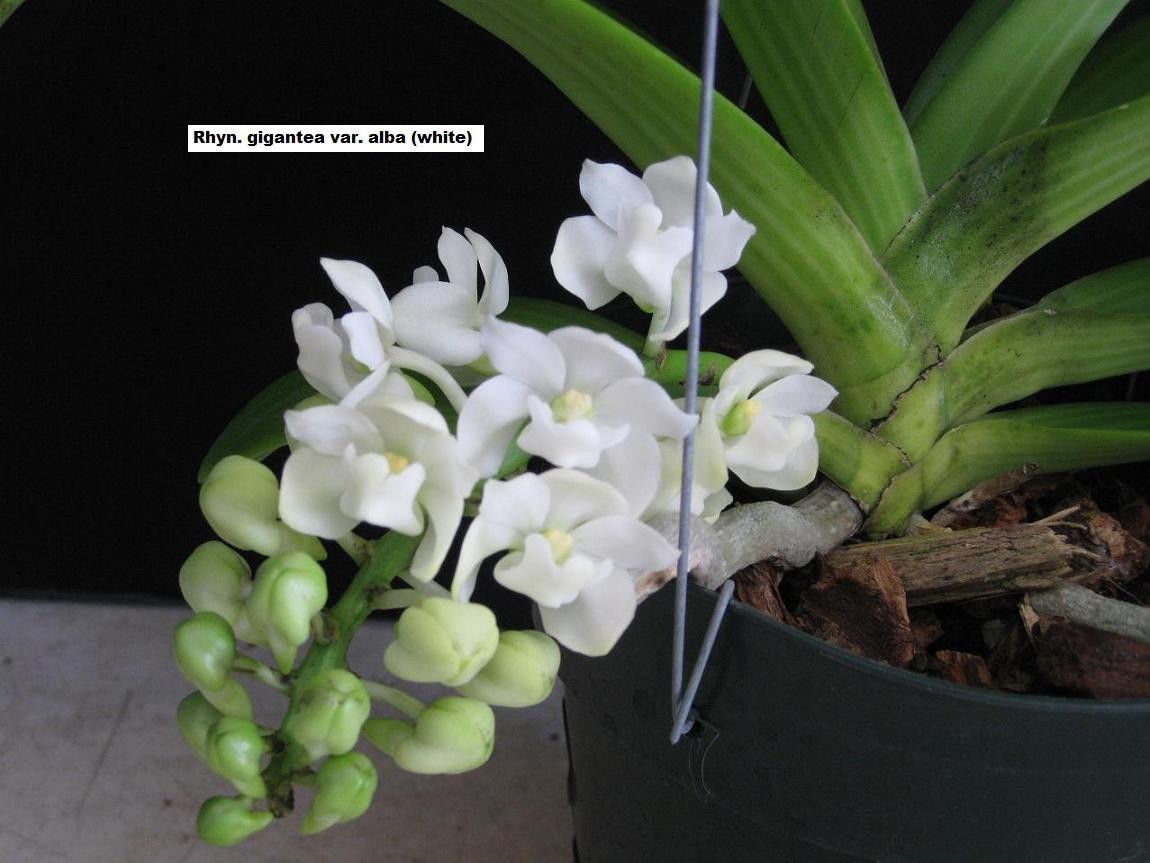 Rhy. gigantea 'Alba' Selected Large Flower- Fragrant! Foxtail Orchid plant Nice! by Kawamoto Orchid Nursery