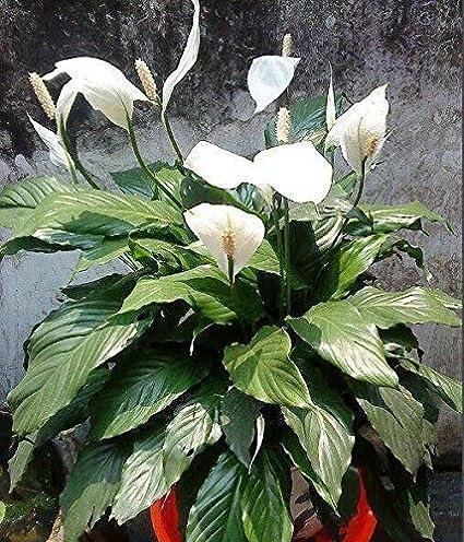 Qulista Samenhaus - 50pcs Grün einblatt zimmerpflanze ...