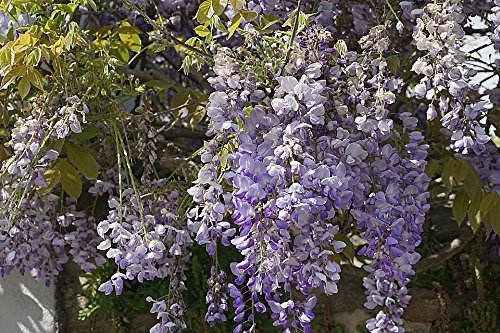 Home Comforts Peel-n-Stick Poster of Purple Spring Flowers Wisteria Garden Blue Nature Poster 24x16 Adhesive Sticker Poster Print ()