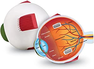Learning Resources Cross-Section Human Eye Model, Biology, Scientific Vocabulary, Classroom Accessories, Measures 5″ in diameter. Grades 2+, Ages 7+