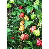 Potomac Banks Pack of 15 World's Hottest Pepper Seeds (Carolina Reaper)