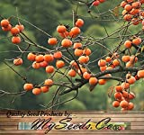 4 oz (200+ seeds) Persimmon Fruit TREE - Diospyros virginiana TREE SEEDS - Cold Hardy Zone 6 - EXQUISITE TASTE - High in Vitamin C
