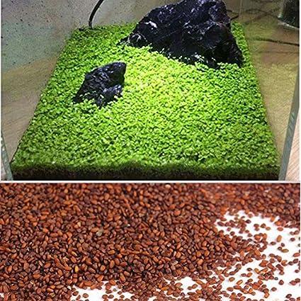Kicode Planta de semillas acuáticas Hierba de agua Musgo Paisaje Decoración de estanque Pecera Hierba de
