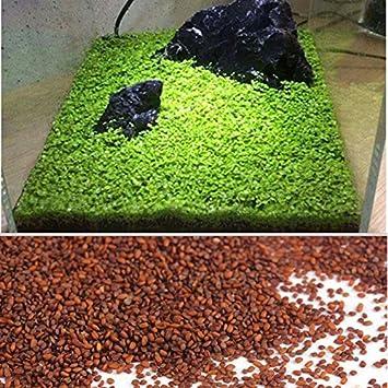 Kicode Planta de semillas acuáticas Hierba de agua Musgo Paisaje Decoración de estanque Pecera Hierba de agua Musgo Paisaje Decoración de estanque Pecera: ...