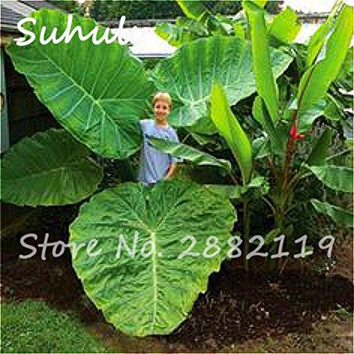 20 Pcs Heirloom Alocasia Macrorrhiza Seed Rare Green Giant Taro Perennial Flower Elephant Ears Sale Home Garden Plants Easy Grow 3