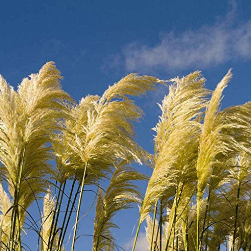MuLuo 500pcs/Bag Pampas Grass Flower Seeds Ornamental Home Garden Plants Flowers Seeds