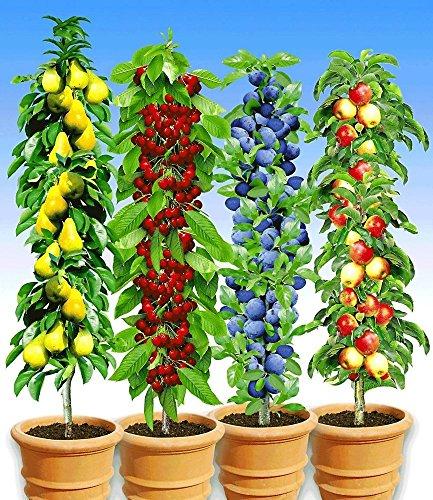 BALDUR-Garten Säulen-Obst-Kollektion Birne, Kirsche, Pflaume & Apfel, 4 Pflanzen