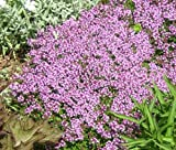 CREEPING THYME Thymus Serpyllum - 110,000 Bulk Seeds