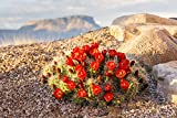 Close up view of Claret Cup Cactus (Echinocereus) flowers at sunset with Mt. Garfield in the background; Colorado, United States of America Poster Print (19 x 12)