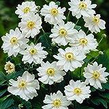 Anemone x hybrida Whirlwind - Japanese Anemone - 3 Plants in 10.5cm Pots