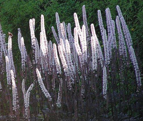 BUGBANE Cimicifuga Ramosa Atropurpurea Bulk Seeds 50