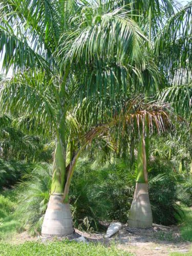 Cuban Royal Palm Roystonea Regia 20 Seeds Palm Seeds