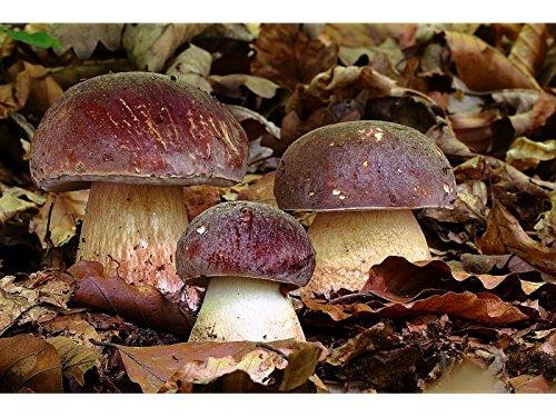 White Mushroom King Pine Bolete Mushroom (Boletus pinophilus) Mycelium Spawn Dried Seeds (25g) by Garden Pleasure