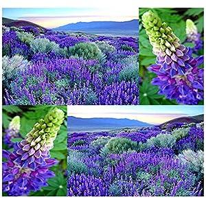 WILD Perennial LUPINE Flower Seeds - Lupinus perennis - Sweet-pea-like flowers - Zones 3-9 100