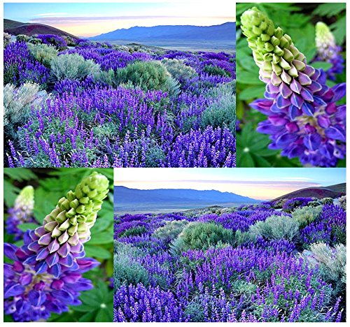WILD Perennial LUPINE Flower Seeds - Lupinus perennis - Sweet-pea-like flowers - Zones 3 - 9 (00080 Seeds - 80 Seeds - Pkt. Size)