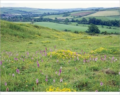 10x8 Print of DORSET, Chalk Downland - in old quarry with Common Spotted Orchids ()