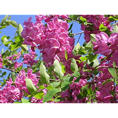 Arnot Bristly Locust, Robinia fertilis, Shrub Seeds (Fast, Hardy, Fragrant) (60) : Garden & Outdoor