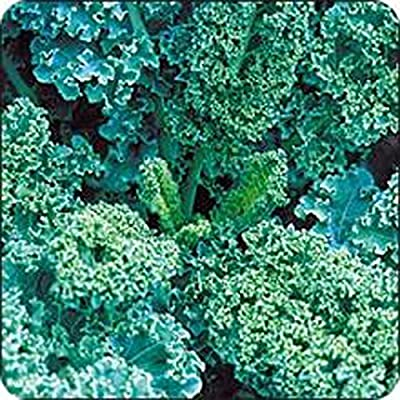 Kale, Vates Blue Curled Scotch kale seeds, Organic, NON-GMO,50 seeds per package