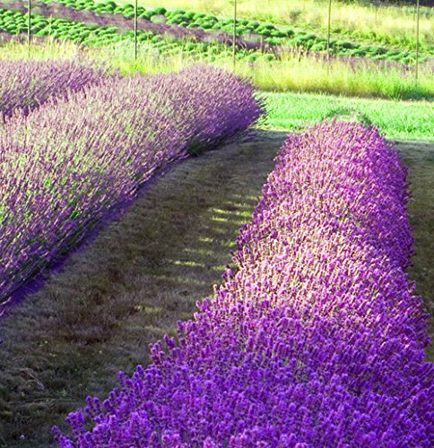 Lavender Seed Collection, 2 Lavender Varieties Plus Instruction Book, 100% Non-GMO Heirloom Seeds of Spike Lavender and Vera Lavender by Sustainable Seed Company